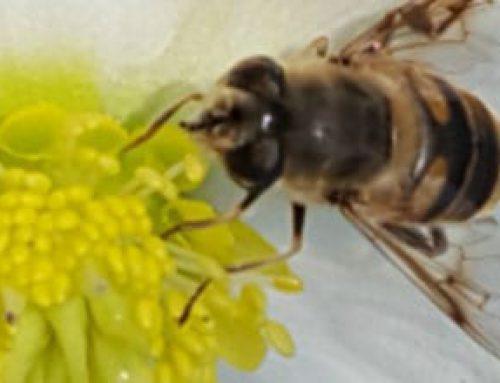 Short Tongued Bees