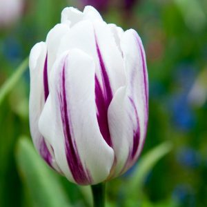 White and purple tulip on a green leafy background